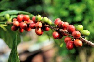 kaffee-roh-frisch